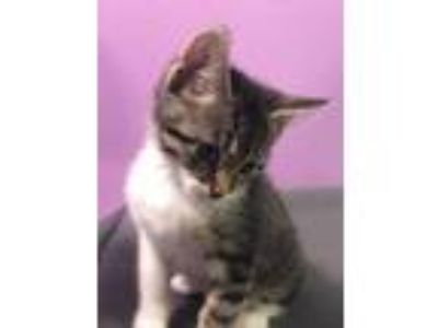 Adopt Abel a Gray or Blue Domestic Shorthair / Domestic Shorthair / Mixed cat in