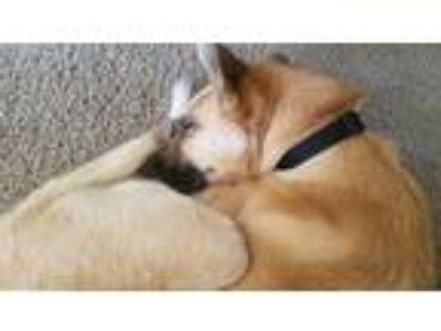 Adopt Ivan Rubio a Brown/Chocolate - with White Husky / Boxer dog in Washington