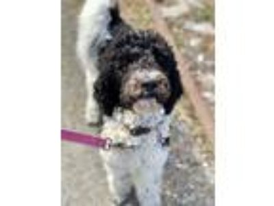 Adopt Eddie a Black - with White Poodle (Standard) / Golden Retriever / Mixed