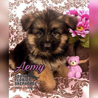 Best German Shepherd Puppy for Sale in Miami FL