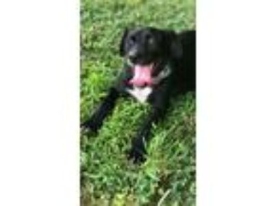 Adopt Janet a Black - with White Labrador Retriever / Mixed dog in Locust