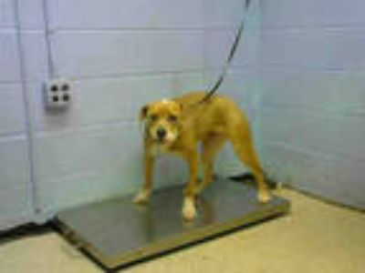 Adopt PENNY a Tan/Yellow/Fawn - with White American Pit Bull Terrier / Mixed dog