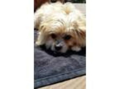 Adopt Missy a White - with Tan, Yellow or Fawn Cairn Terrier / Shih Tzu / Mixed