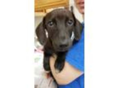 Adopt Dallas a Black Labrador Retriever / Mixed dog in Bloomingdale