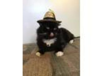 Adopt Panther a Black & White or Tuxedo Domestic Shorthair (short coat) cat in