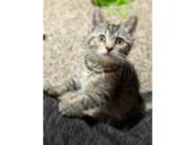 Adopt Addie a Brown or Chocolate Domestic Shorthair / Mixed (short coat) cat in