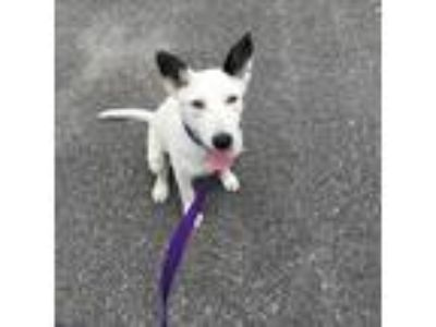 Adopt TIPPER a Rat Terrier