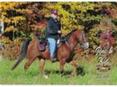 Two TWH proven trail horses