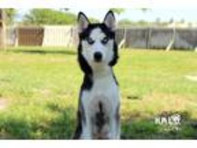 Adopt Kiara a Husky / Mixed dog in Sebastian, FL (25573025)