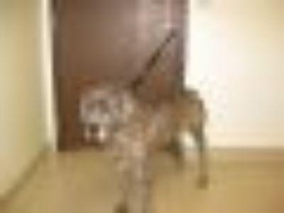 Brittany Cane Corso Mastiff Dog