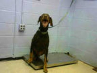 Adopt FRODO a Brown/Chocolate Doberman Pinscher / Mixed dog in Atlanta