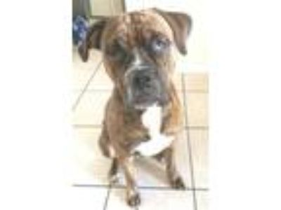 Adopt Zeus a Brindle Boxer / Mixed dog in Lakeland, FL (25743535)