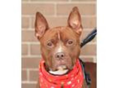 Adopt Bosco a Brown/Chocolate Terrier (Unknown Type, Medium) / Mixed dog in