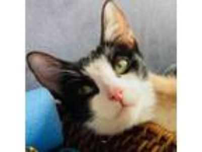 Adopt Lorelei a Domestic Short Hair