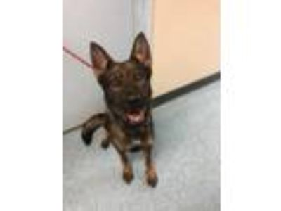 Adopt Lika a Belgian Shepherd / Malinois, German Shepherd Dog