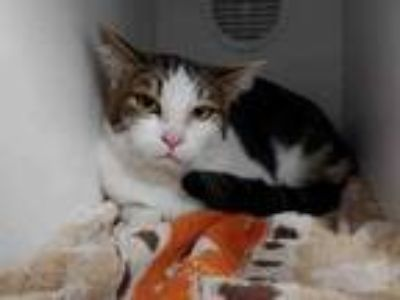 Adopt OLIVER a Domestic Medium Hair