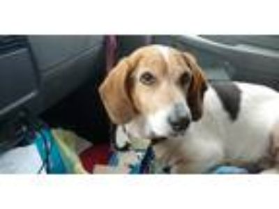 Adopt Hollar a White - with Brown or Chocolate Beagle / Basset Hound / Mixed dog