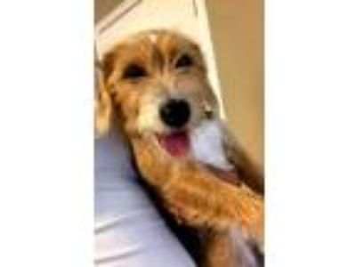 Adopt PNut a Wirehaired Terrier, Beagle