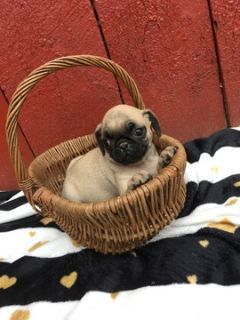 Pug PUPPY FOR SALE ADN-92836 - Pug Puppies