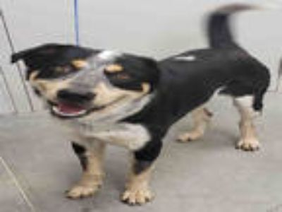 Adopt a Black - with White Border Collie / Mixed dog in Rosenberg, TX (25291675)