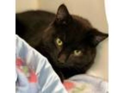 Adopt Doctor Robert a Domestic Short Hair