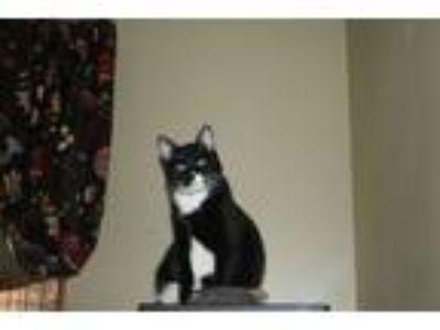 Adopt Marshmallow a Tuxedo, Domestic Short Hair