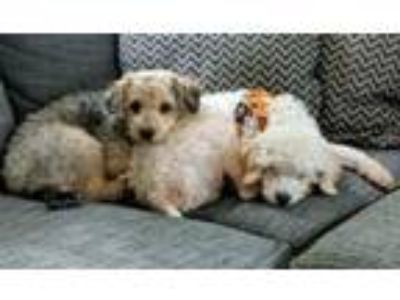 Adopt Tucker and Toby a Poodle, Terrier