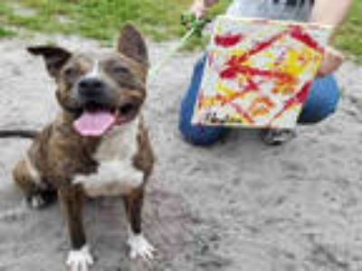 Adopt PEYTON a Brindle - with White American Pit Bull Terrier / Mixed dog in