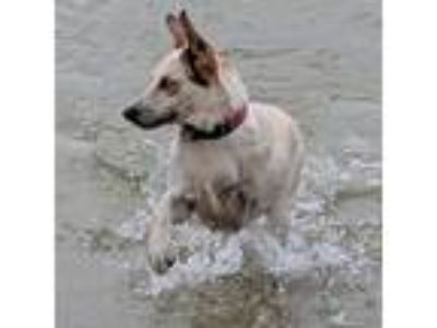 Adopt Autumn a Australian Cattle Dog / Blue Heeler, Catahoula Leopard Dog