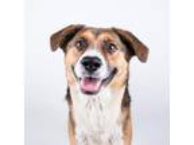 Adopt Rufus a Brown/Chocolate Collie / Mixed dog in Chamblee, GA (25883890)