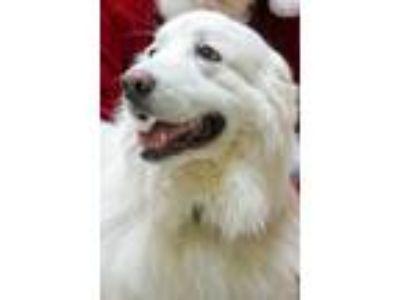 Adopt Wallace a White Great Pyrenees / Mixed dog in Morganton, NC (22199472)