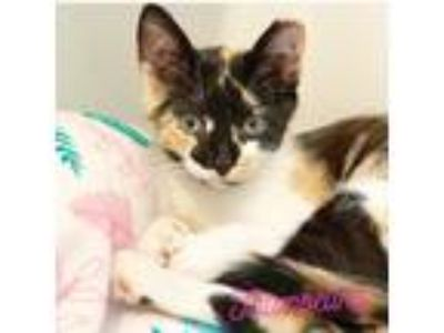 Adopt Thumbelina a Calico cat in San Francisco, CA (25654368)