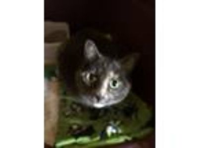 Adopt Emma a Domestic Short Hair, Dilute Tortoiseshell
