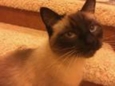 Adopt Sophie a Brown or Chocolate (Mostly) Siamese cat in Bellingham