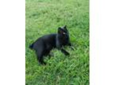 Adopt Bob a All Black Domestic Shorthair cat in Louisville, KY (25612845)