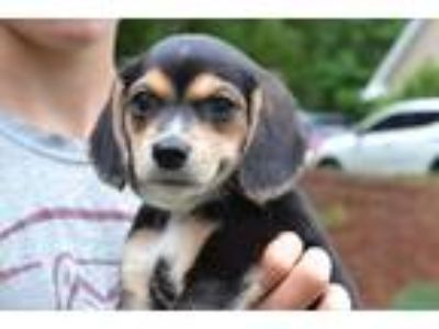 Adopt Malt - Sugar Aliases a Black - with Tan, Yellow or Fawn Beagle / Mixed dog