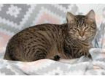 Adopt Madeline a Tan or Fawn Domestic Shorthair / Domestic Shorthair / Mixed cat