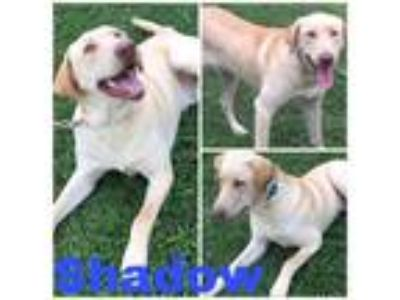 Adopt Shadow a Labrador Retriever