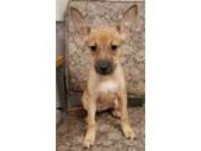 Adopt Betsy a Tan/Yellow/Fawn Dachshund / Rat Terrier / Mixed dog in Anna
