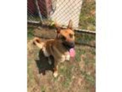 Adopt Riggs a Tan/Yellow/Fawn German Shepherd Dog / Mixed dog in Watauga