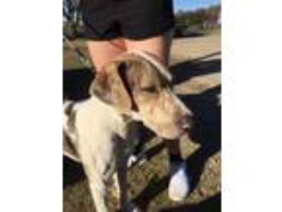 Adopt Bosley Thomas a Catahoula Leopard Dog, Mountain Cur