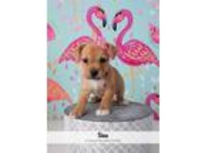 Adopt Sina a Tan/Yellow/Fawn - with White Fox Terrier (Wirehaired) dog in