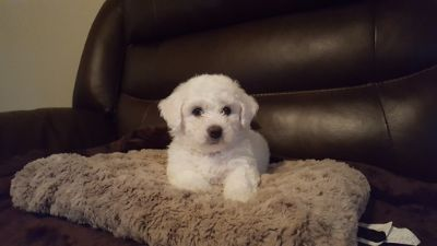 Bichon Frise PUPPY FOR SALE ADN-89631 - AKC Bichon Frise Puppies