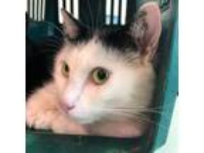 Adopt A STRAY CAT a Domestic Short Hair