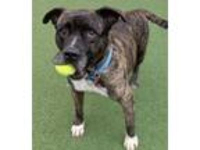 Adopt Wesley a Mastiff, Pit Bull Terrier