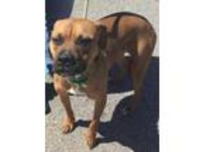 Adopt Carin HW + a Brown/Chocolate Boxer / Mixed dog in Gainesville