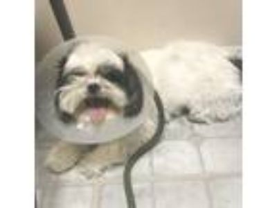 Adopt CeeCee a Shih Tzu, Mixed Breed