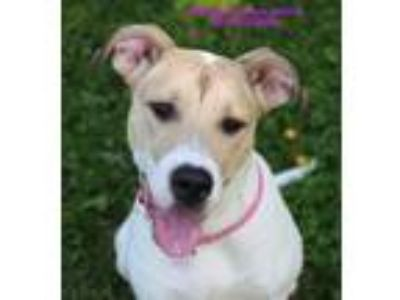 Adopt Grits (Queen) a White Mixed Breed (Large) / Mixed dog in Boone