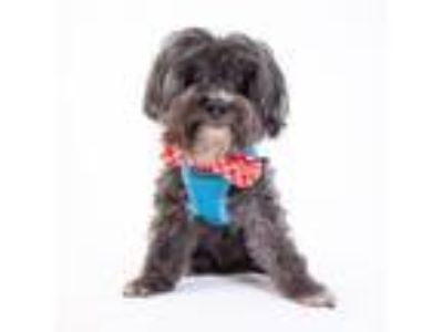 Adopt Mac a Poodle, Yorkshire Terrier