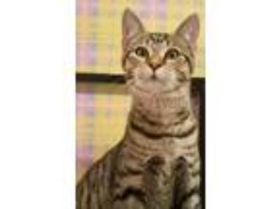 Adopt 2094 Oscar a Domestic Short Hair, Tabby